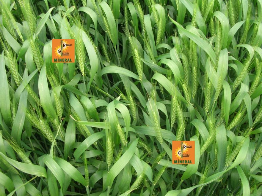 Buğday 1