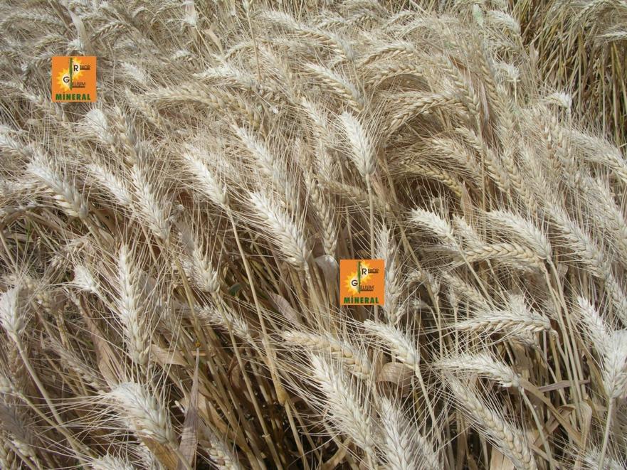 Buğday 10
