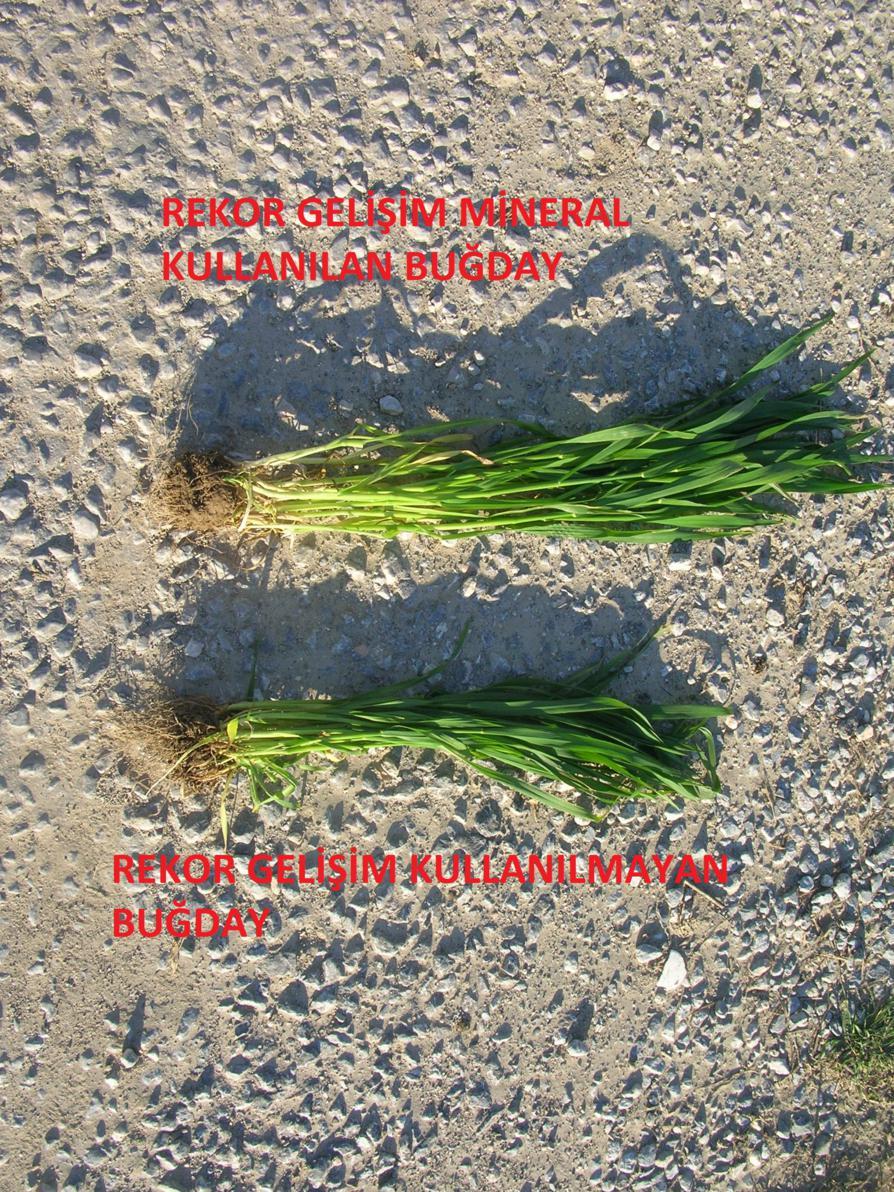 Buğday 11