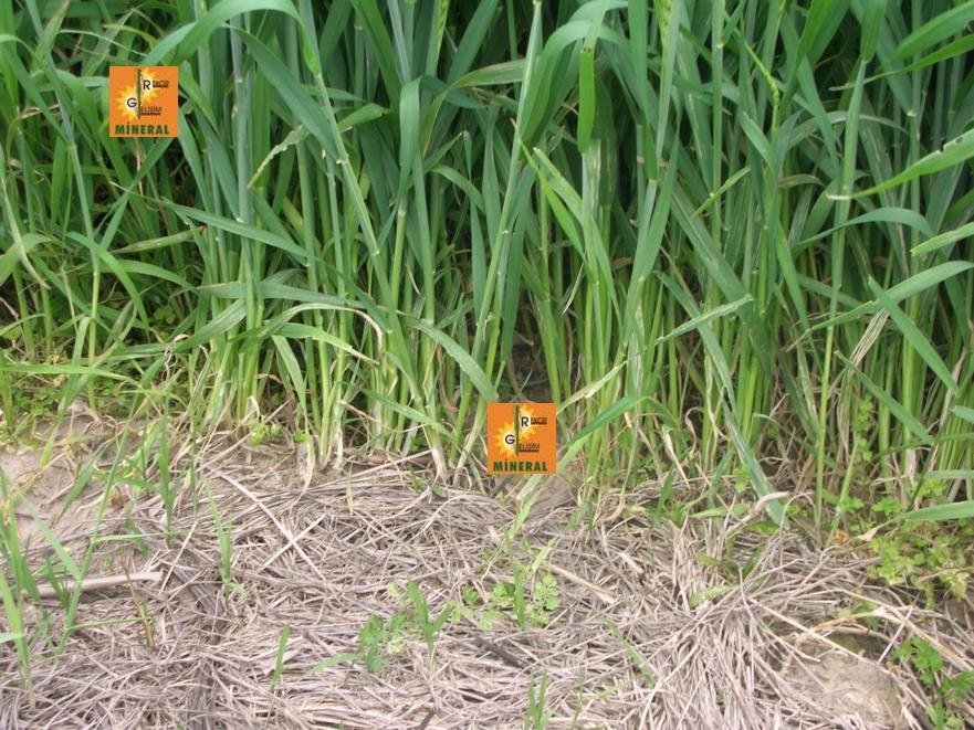 Buğday 4