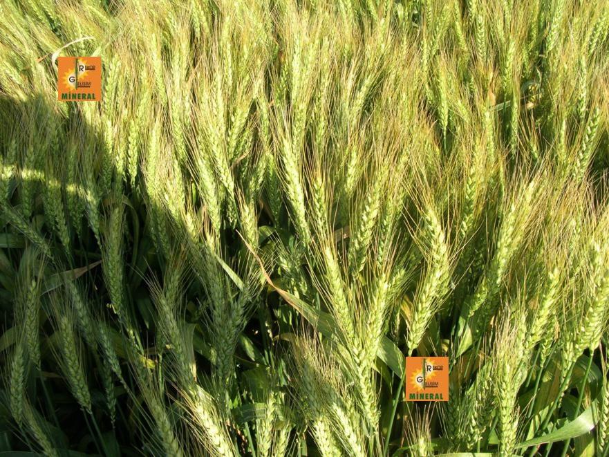 Buğday 5