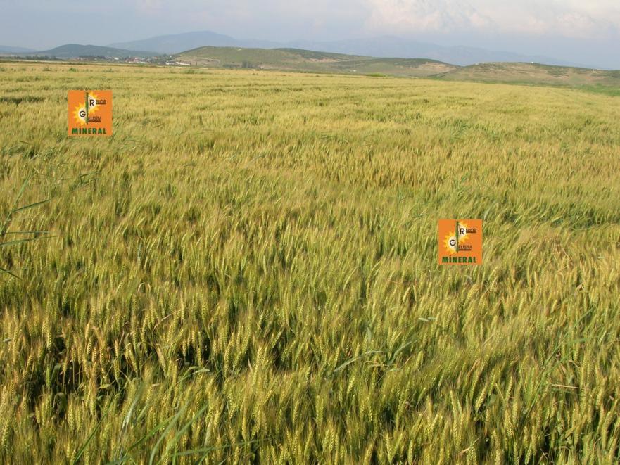 Buğday  6