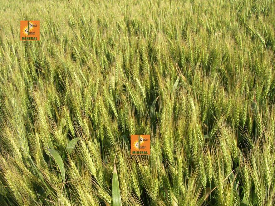 Buğday 7
