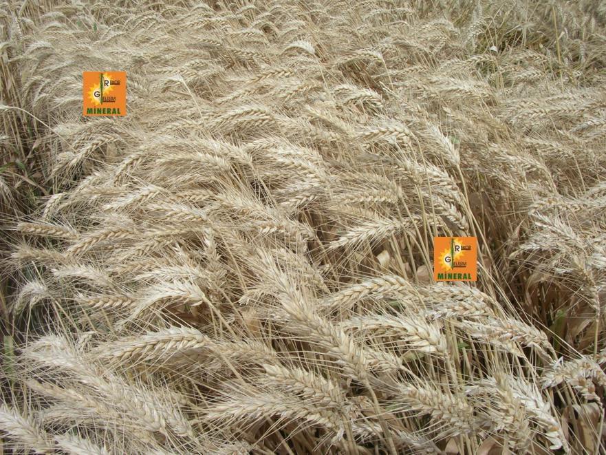 Buğday  8