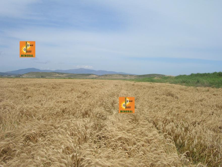 Buğday 9