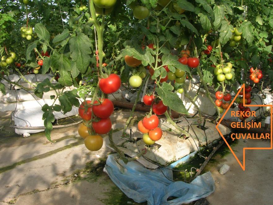 Rekor Gelişim çuvallarının içine dikilerek yetiştirilmiş Domatesler, Rekor Gelişim Topraksız Tarım uygulaması